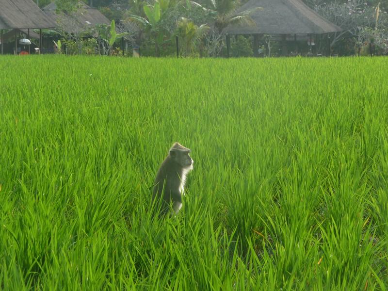 Bali en famille - Ubud, la Monkey Forest et les rizières