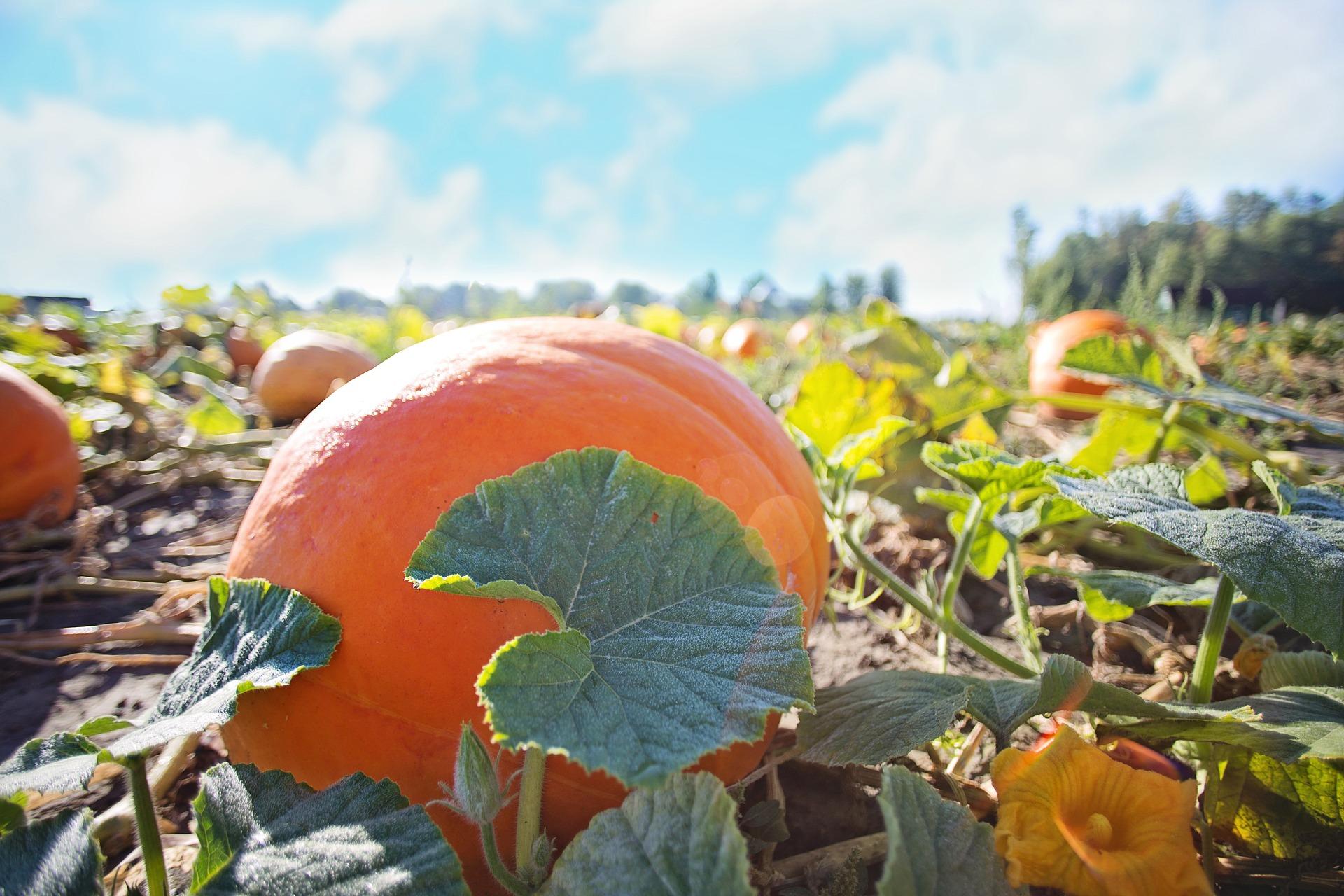 La cueillette d'Halloween à la ferme